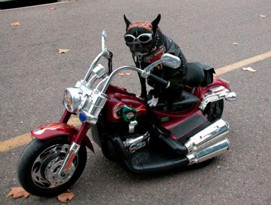 Un cane in sella ad una mini moto