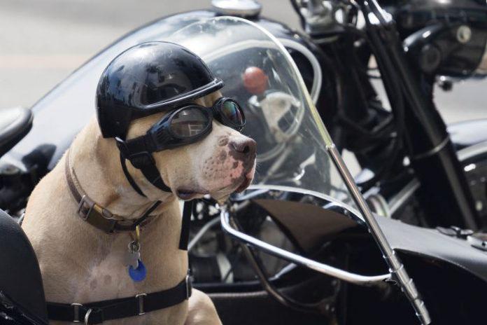 Un cane seduto sul sidecar con casco e occhiali