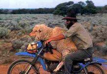 Andare in moto con una pecora….