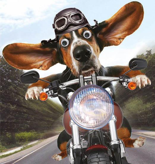 Un cane in moto con le orecchie al vento.
