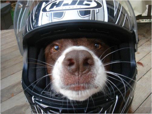 Un cane che indossa un casco integrale
