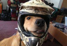 Un cane felice di indossare un casco