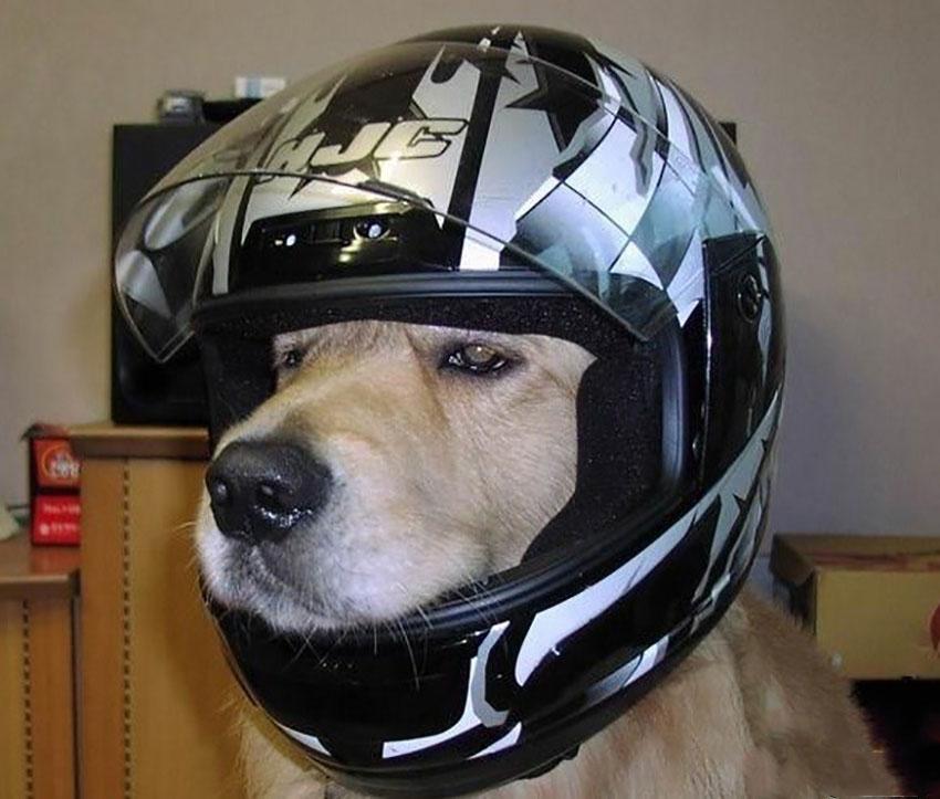 Un cane con indosso un casco