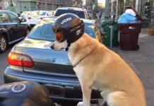 un-cane-seduto-moto-casco