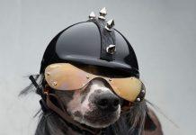 Un cane con casco e occhiali