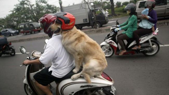 Un cane come passeggero in moto