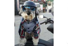 Un cane elegante con casco e occhiali