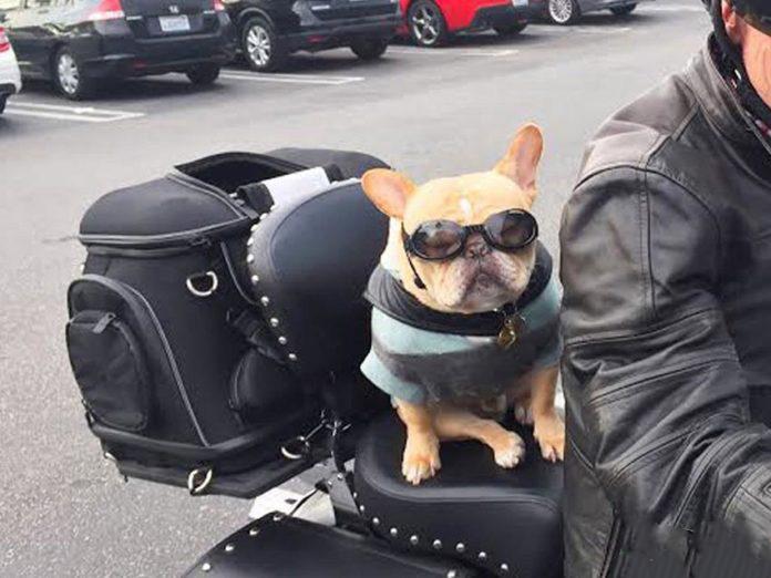 Un cane seduto sulla moto con il padrone
