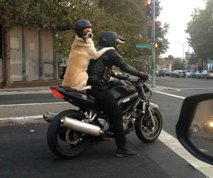 Un cane passeggero in moto con casco e occhiali