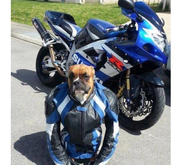 Un cane motociclista indossa sempre la giacca con protezioni