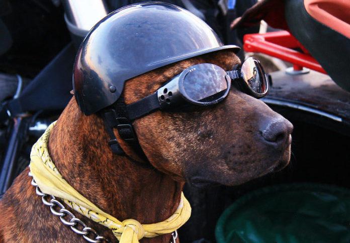Un cane in moto con occhiali e casco