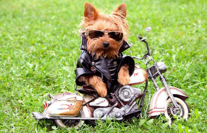 Cagnolino con mini moto