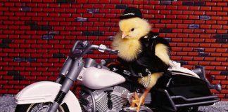 Pulcino motociclista