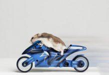 Un topo da corsa in moto